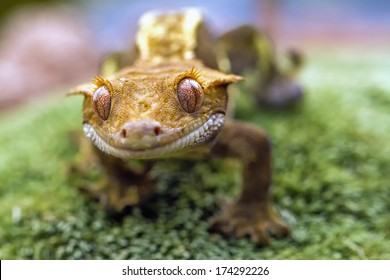 Detail of the head and eyes New Caledonian crested gecko