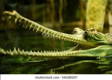 Detail of head of gharial in zoo