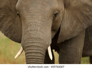 Detail of head of juvenile African Bush Elephant,Loxodonta africana. South Africa, Timbavati game reserve