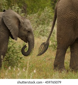 Detail of head of juvenile African Bush Elephant,Loxodonta africana, following mother's tail. South Africa, Timbavati game reserve