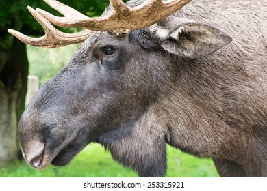 Detail of the head of a male elk moose in autumn, Alces alces