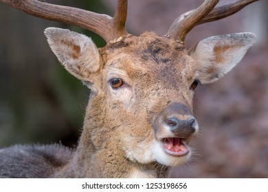 """Detail of a head of a male fallow deer (Dama dama) with antlers and open mouth. Warm December. Park """"Obora Holedna"""" in Brno City, South Moravia, Czech republic, Europe"""