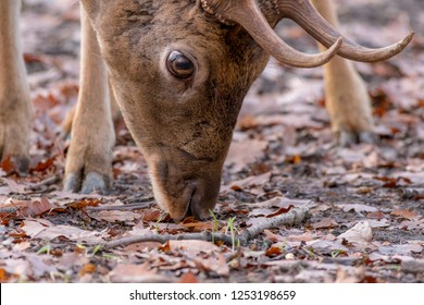 """Detail of a head of a male fallow deer (Dama dama) with antlers searching for a food on ground with leaves. Warm December. Park """"Obora Holedna"""" in Brno City, South Moravia, Czech republic, Europe"""
