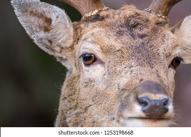 """Detail of a head of a male fallow deer (Dama dama) with antlers. Warm December. Park """"Obora Holedna"""" in Brno City, South Moravia, Czech republic, Europe"""