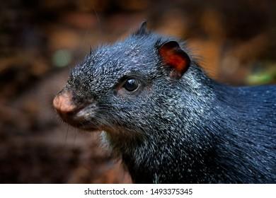 Detail head portrait of agouti. Black agouti, Dasyprocta fuliginosa, Baeza, Ecuador. Cute animal in the nature habitat, dark tropic forest. Wildlife in Ecuador.