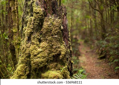 Detail of heavily moss covered trees in a native forest near Queenstown on the west coast of Tasmania, Australia
