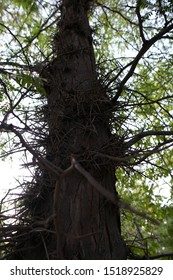 Detail of a Honey locust tree thorns.