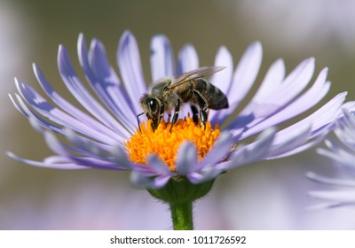 detail of honeybee in Latin Apis Mellifera, european or western honey bee sitting on the violet or blue flower