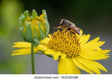 Detail of Honeybee on Sunflower | Asian Honeybee on Sunflower High Resolution