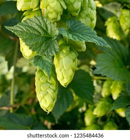 Detail of hop cones before harvest