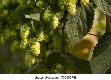 detail of hop cones in the hop field