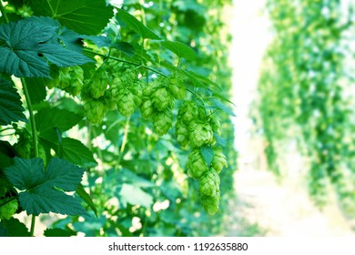 Detail of hop cones in the hop field before harvest