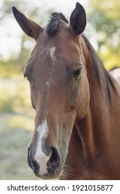 detail of horse's head. A brown horse from the fields of South America, looking at the camera. Eastern Republic of Uruguay. America.