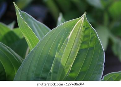 Detail of hosta leaf