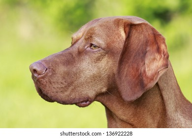 Detail of hungarian pointer