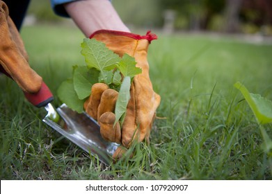 Detail image of Garden work, pulling out weeds, with lush green lawn and blurred background as copy space.