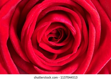 Detail image of a red rose