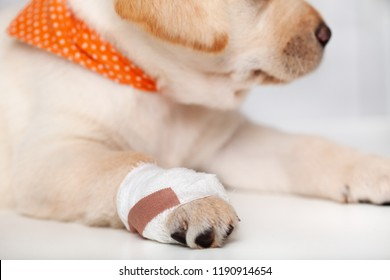 Detail of injured labrador puppy dog with bandage on its paw - lying on a white flat surface