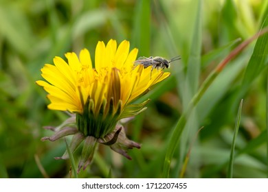 Detail of insect on bloom of dandelion