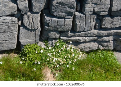 A detail of the interior wall of Dun Aonghasa (Dun Aengus) in springtime.    Inishmore, Aran Islands, County Galway, Ireland.