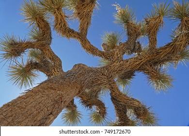Detail of Joshua, Joshua Tree National Park, California