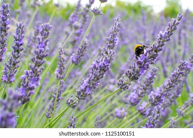 Detail of lavender field with a bumblebee