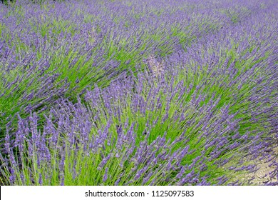 Detail of lavender field in the summer time
