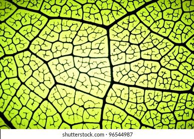 detail of a leaf in backlit showing veins