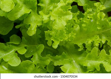 Detail of leaf of green salad. Macro photography of fresh green vegetable,Salad background.XXXL,Macrophotography, Food, Close-up, Vegetable, Lettuce,Bright green lettuce leaves growing in the garden