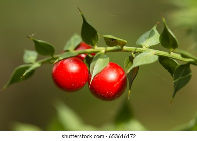 Detail of leaves and fruits of butcher's broom, Ruscus aculeatus