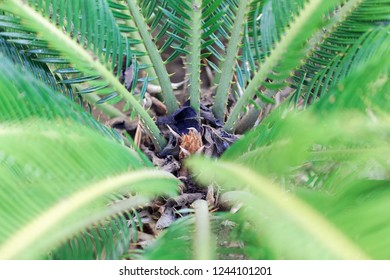 Detail of leaves from a sago palm (Cycas revoluta)