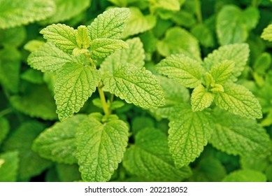 a detail of lemon balm in the garden
