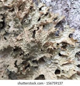 Detail of lichen growing on a maple tree