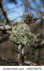 Detail of lichens on the branch of an oak