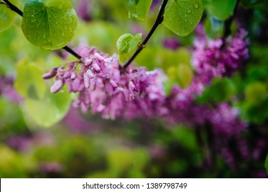 Detail macro shot of Cercis siliquastrum commonly known as the Judas tree or Judas-tree branch in bloom it is a small deciduous tree from Southern Europe and Western Asia which with deep pink flowers