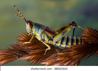 detail macro view of a colorful grasshopper on a dry grass stem against a green foliage background