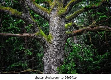 Detail of an majestic old oak tree in a deep gloomy forest in sweden