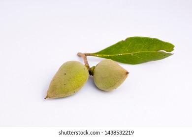 detail of Mangrove fruits ( avicennia alba )