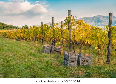 Detail of manual grape harvest on the Tuscan hills.