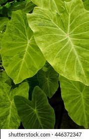 Detail of the many shade of green on the large leaves of the elephant ear