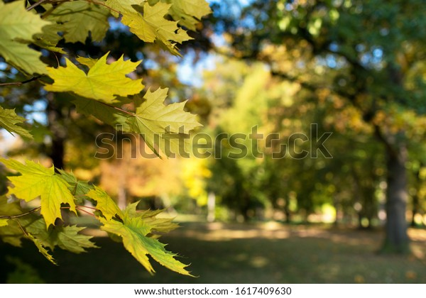 Detail of maple leaves in the forest