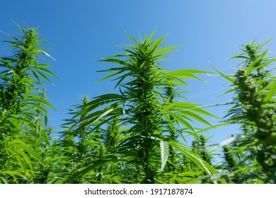 Detail of marijuana bud on the outdoor field
