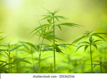 Detail of marijuana plant on field, low depth of focus