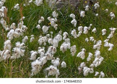 Detail of a meadow with cottongrass. Eriophorum (cottongrass, cotton-grass or cottonsedge) is a genus of flowering plants. They are found throughout the arctic, subarctic and  the Northern Hemisphere