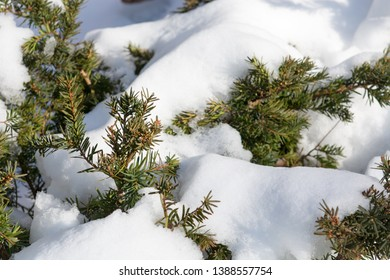 Detail of melting snow on a  coniferous tree green leaves