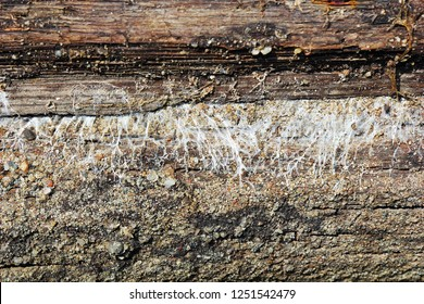 detail of mine fungus hyphae growing on wooden element ( Fibroporia vaillantii )