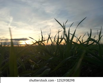 Detail of moisture drops on young cereal growing healthy. Silhouette of plants in contrast to sunset in the background.  Sundown in the countryside. Horizon and loneliness. Panoramic in rural setting.