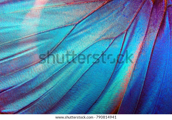 Detail of morpho butterfly wing