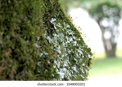 Detail of moss and lichen on a tree trunc