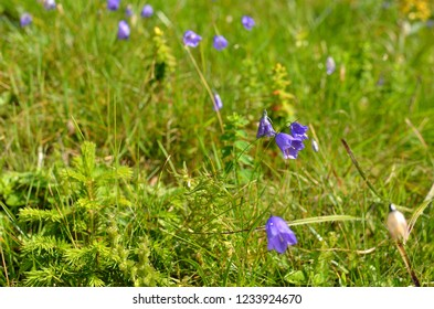 Detail of a mountain meadow with vivid violet wild flowers in summer